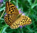 golden fritillary moments